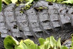 Alligatore o coccodrillo Fotografia Stock Libera da Diritti