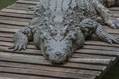 Alligatore o coccodrillo dalla fine alta Fotografia Stock Libera da Diritti