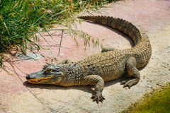 Alligatore o coccodrillo in zoo Immagini Stock Libere da Diritti