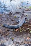 Alligatore pericoloso nei terreni paludosi di Florida Fotografia Stock Libera da Diritti