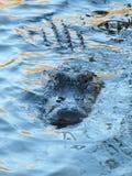 Alligatore pigro Fotografia Stock