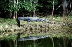 Alligatore a riposo sulla riva Immagine Stock