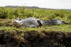 Alligatore selvaggio Fotografia Stock