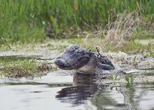 Alligatore selvaggio di Florida Fotografie Stock Libere da Diritti