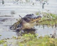 Alligatore selvaggio di Florida Immagini Stock
