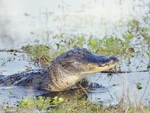 Alligatore selvaggio di Florida Immagine Stock Libera da Diritti