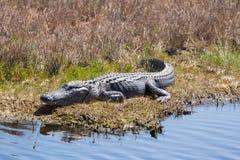 Alligatore sorridente Immagini Stock