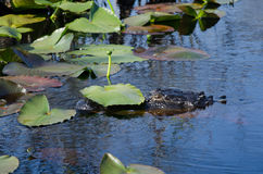 Alligatore sotto Lily Pad Immagine Stock