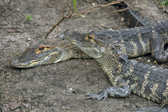 Alligatore in sporcizia Fotografia Stock Libera da Diritti