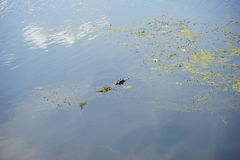 Alligatore in stagno Immagine Stock Libera da Diritti