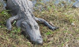Alligatore su erba Immagine Stock Libera da Diritti