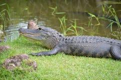 Alligatore su erba vicino alle paludi Immagini Stock Libere da Diritti