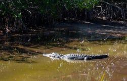Alligatore su Marsh Trail in Florida ad ovest del sud Fotografia Stock Libera da Diritti
