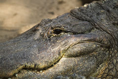 Alligatore su terra Fotografia Stock Libera da Diritti