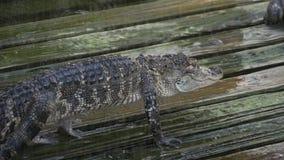 Alligatore su una piattaforma bagnata di legno stock footage