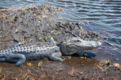 Alligatore sui terreni paludosi parco nazionale, Florida - U.S.A. Fotografia Stock