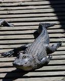 Alligatore sul bacino che prende il sole Fotografie Stock