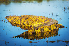 Alligatore sul fiume di Chobe Fotografia Stock