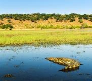 Alligatore sul fiume di Chobe Immagine Stock Libera da Diritti