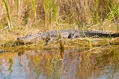 Alligatore sul movimento Fotografie Stock