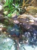 Alligatore sul vagare in cerca di preda Immagini Stock Libere da Diritti