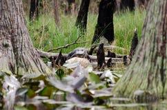 Alligatore sulla palude di Okefenokee del ceppo di Cypress Immagini Stock Libere da Diritti