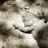 Alligatore sulla sabbia Immagine Stock Libera da Diritti