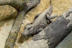 Alligatore sulla sabbia Immagini Stock