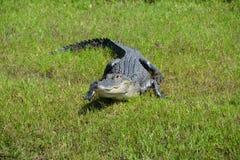 Alligatore sulla sorveglianza dell'erba Immagine Stock Libera da Diritti