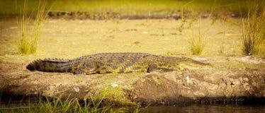 Alligatore sulla sponda del fiume Fotografie Stock