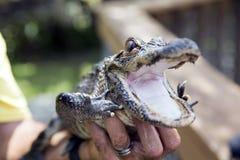 Alligatore sveglio del bambino Immagini Stock Libere da Diritti