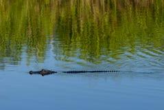 Alligatore in terreni paludosi Fotografia Stock Libera da Diritti