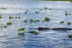 Alligatore in terreni paludosi parco nazionale, Florida, U.S.A. Immagini Stock