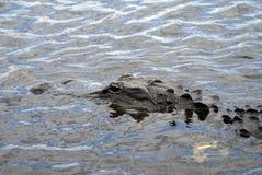 Alligatore in terreni paludosi parco nazionale, Florida, U.S.A. Immagine Stock Libera da Diritti