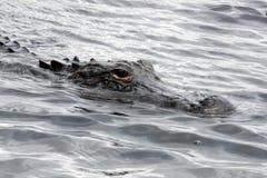 Alligatore in terreni paludosi parco nazionale, Florida, U.S.A. Fotografie Stock Libere da Diritti