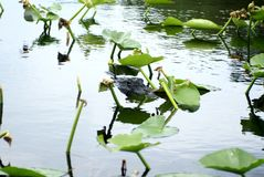 Alligatore in terreni paludosi parco nazionale, Florida, U.S.A. Fotografia Stock