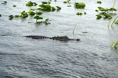 Alligatore in terreni paludosi parco nazionale, Florida, U.S.A. Fotografie Stock