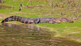 Alligatore un giorno soleggiato Fotografia Stock Libera da Diritti