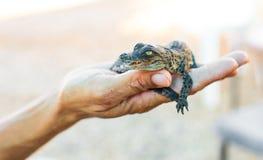 Alligatore una mano umana Fotografia Stock