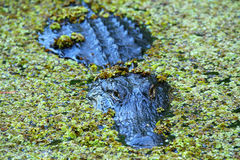Alligatore in una palude Immagine Stock Libera da Diritti