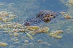 Alligatore in uno stagno Immagini Stock
