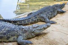 Alligatore vicino ad acqua Fotografia Stock Libera da Diritti
