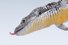 Alligatoreidechse Stockbild
