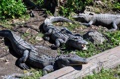 Alligatoren in den Sumpfgebieten, Florida, USA Stockbilder
