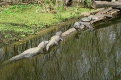 Alligatoren und Schildkröten auf einem Klotz lizenzfreie stockfotos