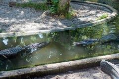 Alligatorer överst av vatten Fotografering för Bildbyråer