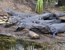 alligatorer Royaltyfria Bilder