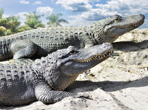 alligatorer Royaltyfri Bild