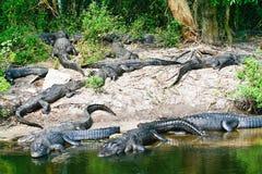 Alligatorer Arkivbilder