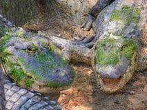 Alligatorer av Louisiana Royaltyfri Bild